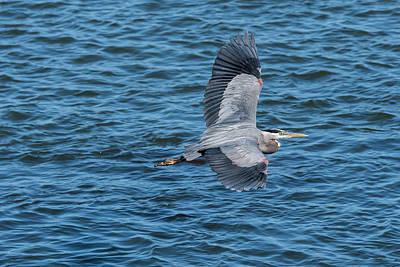 Photograph - Flying Heron by Robert Potts