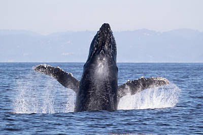 Photograph - Flying Humpback by Deana Glenz