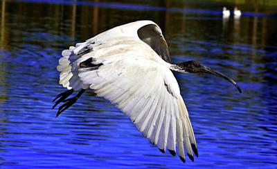 Photograph - Flying Ibis by Miroslava Jurcik