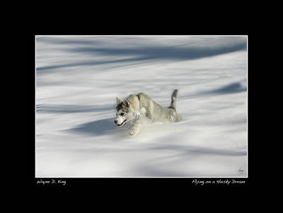 Photograph - Flying In A Husky Dream Poster by Wayne King
