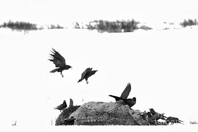 Photograph - Flying In For The Feast Black And White by Adam Jewell