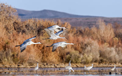 Flock Of Bird Photograph - Flying In - Sandhill Cranes 2 by SharaLee Art