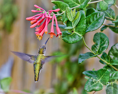 Photograph - Flying Jewel by Kerri Farley