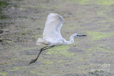 Heron Photograph - Flying Juvenile Blue Heron by Carol Groenen