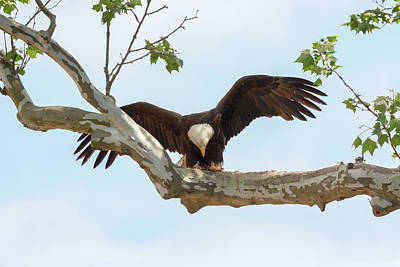 Photograph - Eagle Flying Lessons 5 by Susan Rissi Tregoning