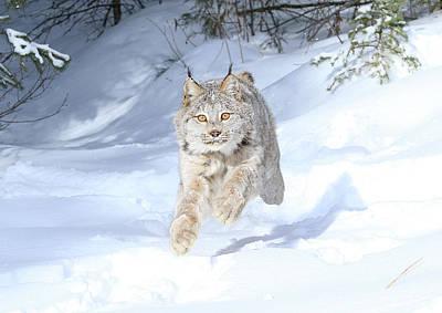Photograph - Flying Lynx by Steve McKinzie