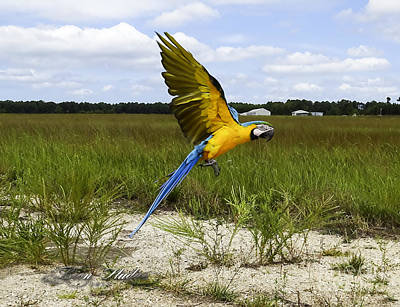 Photograph - Flying Macaw by Melissa Messick