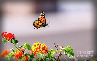 Flying Monarch Butterfly Art Print by Robert Bales