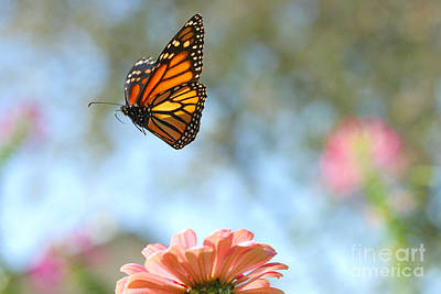 Photograph - Flying Monarch by Steve Augustin