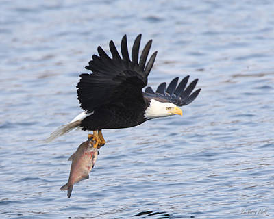 Eagle In Flight Photograph - Flying Off With The Catch by Gerry Sibell