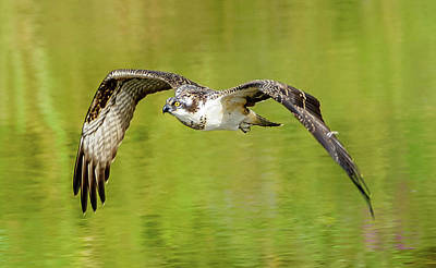 Photograph - Flying Osprey by Jerry Cahill