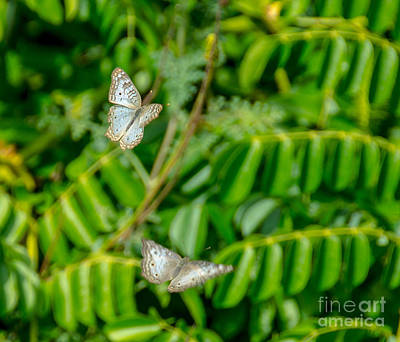 Photograph - Flying Peacock Butterflies by Cheryl Baxter