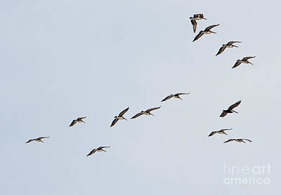Photograph - Flying Pelicans by Les Palenik