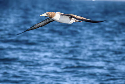 Photograph - Flying Red-footed Booby by John Haldane
