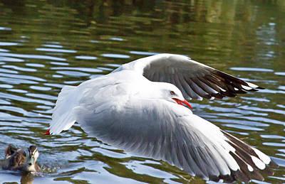 Photograph - Flying Seagull Above A Lake by Miroslava Jurcik