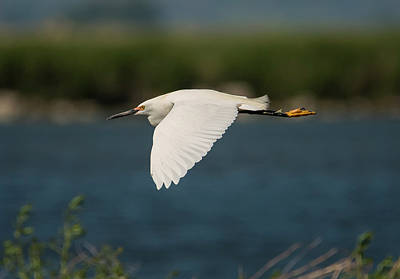 Photograph - Flying Snowy Egret by Loree Johnson