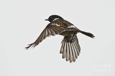 Photograph - Flying Stonechat by Terri Waters