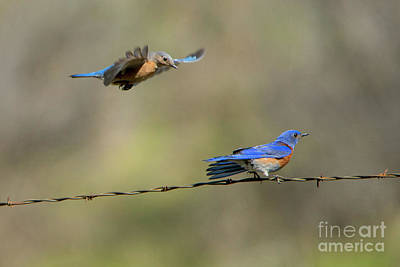 Bluebird Photograph - Flying To You by Mike Dawson