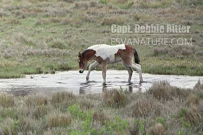 Photograph - Foal 5183-1 by Captain Debbie Ritter