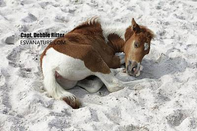 Photograph - Foal Assateague Md 1758 by Captain Debbie Ritter