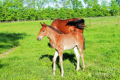 Photograph - Foal by David Arment