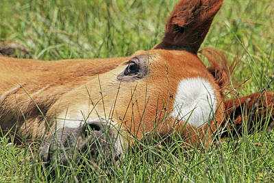Photograph - Foal Nap Time by Jennie Marie Schell