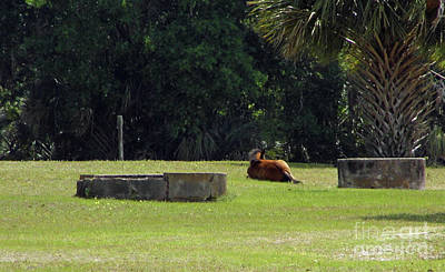 Photograph - Foal Sleeping In The Sun by D Hackett