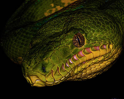 Focus - A Close Look At An Emerald Boa Constrictor Print by Mitch Spence
