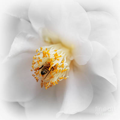 Photograph - Focus On Bee In White Camellia by Carol Groenen