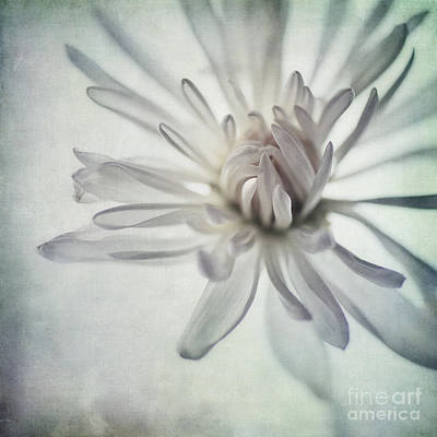 White Daisy Photograph - Focus On The Heart by Priska Wettstein