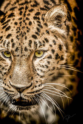 Leopard Wall Art - Photograph - Focus by Paul Neville