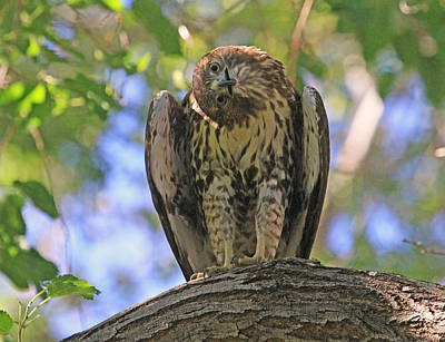 Red Tail Hawks Photograph - Focused by Donna Kennedy