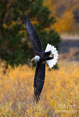 Eagle Photograph - Focused by Mike Dawson