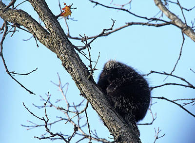 Photograph - Focused Porcupine by Debbie Oppermann