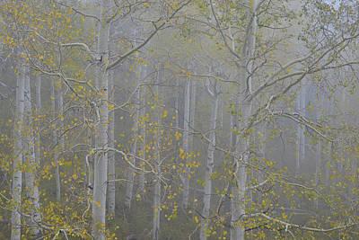 Photograph - Fog Adorns Aspen Grove Along Dallas Creek by Ray Mathis