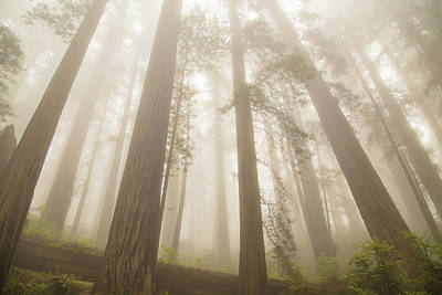 Fog And Redwoods Art Print