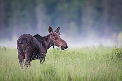 Photograph - Foggy Baby Bull by Ian Sempowski