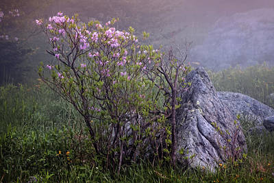 Photograph - Foggy Pink Azalea by Ken Barrett