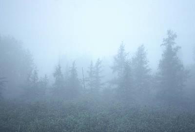 Photograph - Foggy Spruce by Bernard Lynch