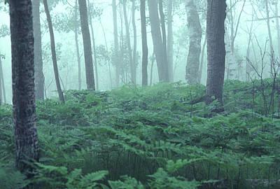 Photograph - Foggy Woodland by Bernard Lynch