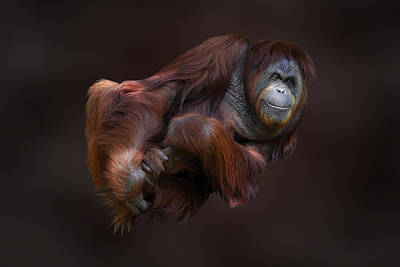 Photograph - Folded Orangutan by Debi Dalio