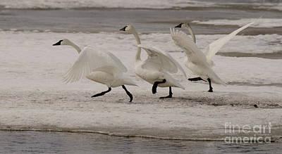 Tundra Swan Photograph - Follow Me Boys by Bob Christopher