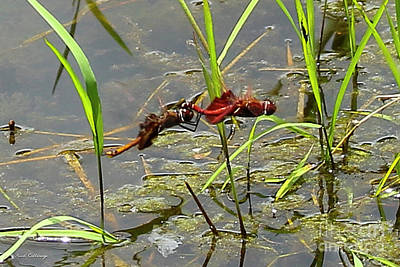 Dragonflies Mating Photograph - Follow Me Dragonflies Mid Air Photography Art by Reid Callaway