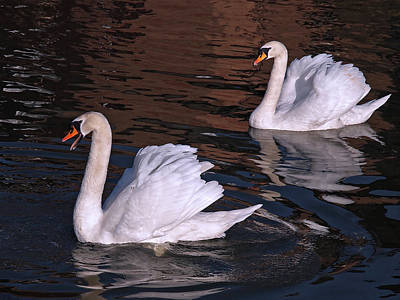 Photograph - Follow Me - Pair Of Mute Swans - Wings Up by Gill Billington