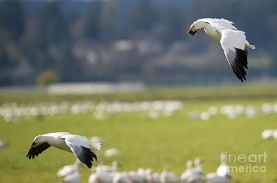 Snow Geese Photograph - Follow You In by Mike Dawson