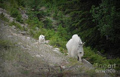 Photograph - Following Mama -  Mountain Goats Of British Columbia by Dyle Warren