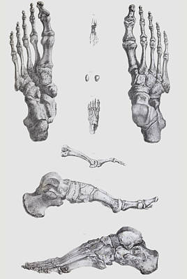 1842 Photograph - Foot Bones by Sheila Terry