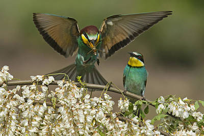 Dragonflies Mating Photograph - For A Male Bee-eater, Mating Depends by Joe Petersburger