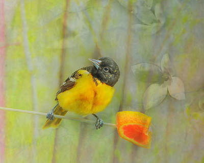 Oriole Wall Art - Photograph - For Me by Susan Capuano
