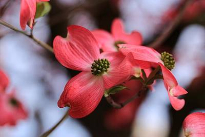 Photograph - For The Love Of Dogwoods by Lynn Hopwood